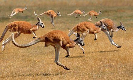 Running Kangaroos and Competing Educational Theories