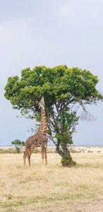 The Masai Giraffe - Masai Mara National Park