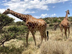 The Reticulated Giraffe - Laikipia Wildlife Conservancy